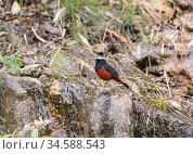 White capped river redstart (Chaimarrornis leucocephalus) perched on rocky slope. North Sikkim, India, April 2019. Стоковое фото, фотограф Ashish & Shanthi Chandola / Nature Picture Library / Фотобанк Лори