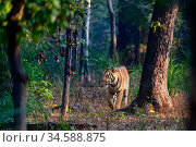 Bengal tiger (Panthera tigris tigris) male walking through sal (Shorea robusta) forest. Bandhavgarh National Park, Madhya Pradesh, Central India. Стоковое фото, фотограф Nick Garbutt / Nature Picture Library / Фотобанк Лори