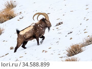 Siberian ibex (Capra sibirica) having just escaped predation by a snow leopard (Panthera uncia) - see scarring and wounds on flank. Ladakh Ranges, western Himalayas, Ladakh, India. Стоковое фото, фотограф Nick Garbutt / Nature Picture Library / Фотобанк Лори