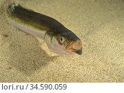 Smooth Sandeel (Gymnammodytes semisquamatus). Eastern Atlantic. Galicia... Стоковое фото, фотограф Marevision / age Fotostock / Фотобанк Лори