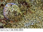 Common saddle oyster colonized by acorn barnacle (Anomia ephippium... Стоковое фото, фотограф Marevision / age Fotostock / Фотобанк Лори