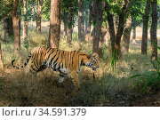 Bengal tiger (Panthera tigris tigris) female walking through sal (Shorea robusta) forest. Bandhavgarh National Park, Madhya Pradesh, Central India. Стоковое фото, фотограф Nick Garbutt / Nature Picture Library / Фотобанк Лори