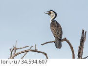 White-breasted cormorant (Phalacrocorax lucidus), perched on tree snag with open beak. Bao Bolong Wetland Reserve, Gambia. Стоковое фото, фотограф Bernard Castelein / Nature Picture Library / Фотобанк Лори