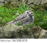 Young Snowy owl (Bubo scandiacus) in grass. Стоковое фото, фотограф Валерия Попова / Фотобанк Лори