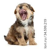 Yorkipoo pup, age 6 weeks, yawning. Стоковое фото, фотограф Mark Taylor / Nature Picture Library / Фотобанк Лори