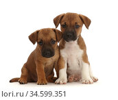 RF - Two Jack Russell x Border Terrier puppies, sitting. (This image... Стоковое фото, фотограф Mark Taylor / Nature Picture Library / Фотобанк Лори