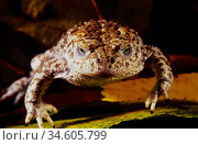Nurse frog. Common midwife toad (Alytes obstetricans). Sierra do ... Стоковое фото, фотограф Marevision / age Fotostock / Фотобанк Лори