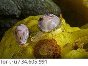European cowrie. Spotted cowrie (Trivia monacha). Eastern Atlantic... Стоковое фото, фотограф Marevision / age Fotostock / Фотобанк Лори