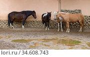 Ponies (Equus ferus caballus) stand in rain near stable. Стоковое фото, фотограф Валерия Попова / Фотобанк Лори