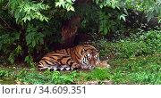 Siberian tiger (P. t. altaica), also known as Amur tiger, sleeps under tree in summer. Стоковое фото, фотограф Валерия Попова / Фотобанк Лори