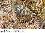 Средиземноморская сухопутная черепаха Никольского в естественной среде обитания. Стоковое фото, фотограф Иванов Алексей / Фотобанк Лори