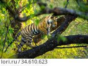 Adolescent male Bengal Tiger (Panthera tigris tigris) (around 15 months) climbing a tree. Bandhavgarh NP, Madhya Pradesh, India. Стоковое фото, фотограф Nick Garbutt / Nature Picture Library / Фотобанк Лори