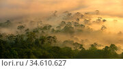 Mist and low cloud hanging over Lowland Dipterocarp Rainforest, just after sunrise. Heart of Danum Valley, Sabah, Borneo. Стоковое фото, фотограф Nick Garbutt / Nature Picture Library / Фотобанк Лори