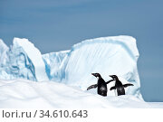 RF - Adelie penguin (Pygoscelis adeliae) on iceberg. Graham Passage, Antarctic Peninsula, Antarctica. (This image may be licensed either as rights managed or royalty free.) Стоковое фото, фотограф Nick Garbutt / Nature Picture Library / Фотобанк Лори
