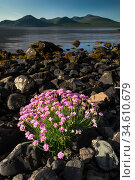 RF - Thrift (Armeria maritima) flowering on shoreline of Loch Na Keal, Isle of Mull, Scotland, June 2011 (This image may be licensed either as rights managed or royalty free.) Стоковое фото, фотограф Nick Garbutt / Nature Picture Library / Фотобанк Лори
