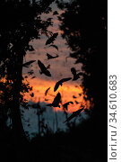 RF - Straw-coloured fruit bats (Eidolon helvum) returning to their daytime roost just before sunrise. Kasanka National Park, Zambia. (This image may be... Стоковое фото, фотограф Nick Garbutt / Nature Picture Library / Фотобанк Лори