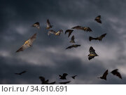 RF - Straw-coloured fruit bats (Eidolon helvum) flying at dusk. Kasanka National Park, Zambia. (This image may be licensed either as rights managed or royalty free.) Стоковое фото, фотограф Nick Garbutt / Nature Picture Library / Фотобанк Лори
