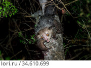 RF - Aye-aye (Daubentonia madagascariensis) female foraging in the middle canopy. Daraina, northern Madagascar. Endemic. Endangered. (This image may be... Стоковое фото, фотограф Nick Garbutt / Nature Picture Library / Фотобанк Лори