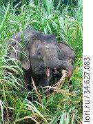 Borneo pygmy elephant (Elephas maximus borneensis) feeding in riparian vegetation on banks of Kinabatangan River, Sabah, Borneo, Malaysia. May. Стоковое фото, фотограф Nick Garbutt / Nature Picture Library / Фотобанк Лори