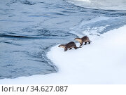 North American river otter (Lutra canadiensis), two standing at edge of frozen Upper Yellowstone River, Hayden Valley, Yellowstone, USA. February. Стоковое фото, фотограф Nick Garbutt / Nature Picture Library / Фотобанк Лори