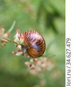 Snail on a plant stem. Стоковое фото, фотограф Argument / Фотобанк Лори