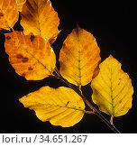 Beech (Fagus sylvatica) leaves in autumn colour. Стоковое фото, фотограф Nigel Cattlin / Nature Picture Library / Фотобанк Лори