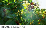 dogrose bush with berries at summer garden. Стоковое видео, видеограф Syda Productions / Фотобанк Лори