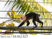 White-faced Capuchin (Cebus capucinus imitator) with one arm leg missing walking on electrical wires in Quepos at the edge of Manuel Antonio National Park, Quepos, Costa Rica. Стоковое фото, фотограф David Pattyn / Nature Picture Library / Фотобанк Лори