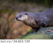 American river otter (Lontra canadensis) captive, occurs in North AMerica. Стоковое фото, фотограф Ernie Janes / Nature Picture Library / Фотобанк Лори