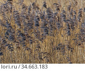 RF - Reed (Phragmites communis) bed, Norfolk (This image may be licensed either as rights managed or royalty free.) Стоковое фото, фотограф Ernie Janes / Nature Picture Library / Фотобанк Лори