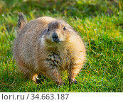 RF - Black-tailed prairie dog (Cynomys ludovicianus) captive occurs... Стоковое фото, фотограф Ernie Janes / Nature Picture Library / Фотобанк Лори