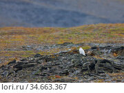 Snowy owl (Nyctea scandiaca) resting on rocky tundra, Wrangel Island, Russia. August. Стоковое фото, фотограф Jenny E. Ross / Nature Picture Library / Фотобанк Лори