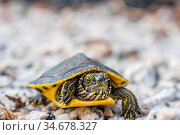 A portrait shot of a turtle loitering around the forest of Gulf State... Стоковое фото, фотограф Zoonar.com/Cheri Alguire ImagesByCheri.com / easy Fotostock / Фотобанк Лори