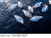 Beautiful white whooping swans swimming in the nonfreezing winter... Стоковое фото, фотограф Zoonar.com/Ruslan Olinchuk / easy Fotostock / Фотобанк Лори
