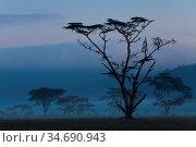 Baeume im Nebel, Landschaft, Lake Nakuru, Kenia, Ostafrika, Afrika... Стоковое фото, фотограф Zoonar.com/Carsten Braun / age Fotostock / Фотобанк Лори
