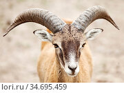 Mufflon (Ovis gmelini-Gruppe), Naturwildpark Granat, Haltern am See... Стоковое фото, фотограф Zoonar.com/Stefan Ziese / age Fotostock / Фотобанк Лори