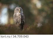 Ural Owl / Habichtskauz ( Strix uralensis ) perched on a tree stump... Стоковое фото, фотограф Ralf Kistowski / age Fotostock / Фотобанк Лори