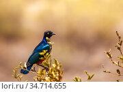Superb starling swallow bird in Kenya. Стоковое фото, фотограф Сергей Новиков / Фотобанк Лори