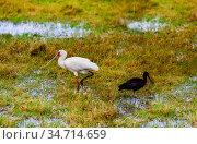 Yellow-billed stork Ibis bird walking in Kenya bog. Стоковое фото, фотограф Сергей Новиков / Фотобанк Лори