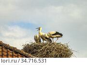 Junge Störche im Nest, Buch, Ortsteil von Tangermünde, Sachsen-Anhalt... Стоковое фото, фотограф Peter Schickert / age Fotostock / Фотобанк Лори