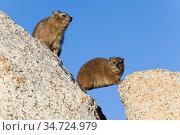 Kapklippschliefer, (Procavia capensis), sitzt auf Fels, sitzend, ... Стоковое фото, фотограф Zoonar.com/Carsten Braun / age Fotostock / Фотобанк Лори