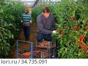 Farm worker gathering crop of tomatoes grown in hothouse. Стоковое фото, фотограф Яков Филимонов / Фотобанк Лори