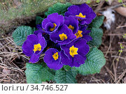 Blooming flower primula with blue bloom in the spring garden. Easter... Стоковое фото, фотограф Zoonar.com/Artush Foto / easy Fotostock / Фотобанк Лори