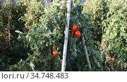 Red ripe cherry tomatoes grow on branches on the field. Стоковое видео, видеограф Яков Филимонов / Фотобанк Лори