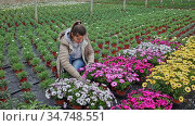 Portrait of smiling successful floriculturist engaged in cultivation of potted ornamental plants, showing young seedlings African daisies. Стоковое видео, видеограф Яков Филимонов / Фотобанк Лори