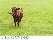 Brown cow is on the meadow. Стоковое фото, фотограф EugeneSergeev / Фотобанк Лори