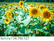 Famland filled with sunflowers on sunny day. Стоковое фото, фотограф Zoonar.com/Alex Grichenko / age Fotostock / Фотобанк Лори