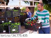 Farmers load crates of ripe bell peppers into car. Стоковое фото, фотограф Яков Филимонов / Фотобанк Лори