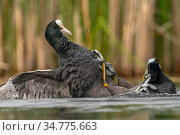 Coot (Fulica atra) two fighting in a territorial dispute during the breeding season, Valkenhorst Nature Reserve, Valkenswaard, The Netherlands, May. Стоковое фото, фотограф David Pattyn / Nature Picture Library / Фотобанк Лори