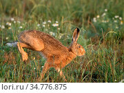 Hasen auf dem Feld. Стоковое фото, фотограф Reiner Bernhardt / age Fotostock / Фотобанк Лори